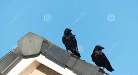 crows on house